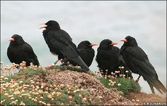"""A CHATTERING OF CHOUGHS: '""""Chattering"""" is the collective noun for choughs     ✫ღ⊰n"""
