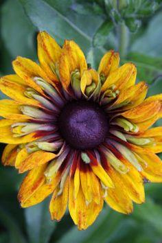 Sunflower - http://fineartamerica.com/art/all/christiane-schulze/all