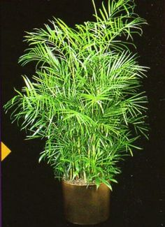 Tomato Growing Tomato Growing – 8 Do's and 5 Don'ts - - Overtime we all learn tips and tricks which help us grow our vegetables. Here are some do's and don'ts about tomato plant care. [LEARN MORE] Fern Images, Plant Images, Perennial Grasses, Perennials, Tomato Plant Care, Big Indoor Plants, Plant Insects, Bamboo Crafts, Silk Plants