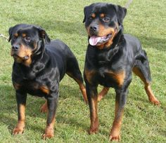 I love Rottweilers. Big and tough-looking, but so incredibly sweet and gentle and kind.