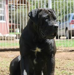 Boerboel Massive Dogs, Huge Dogs, Farm Dogs, Bully Dog, Man And Dog, Dog Rules, Rottweilers, Cane Corso, Dog Boarding