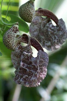 Pfeifenblume / pipe vine (Aristolochia cymbifera) | Flickr - Photo Sharing!