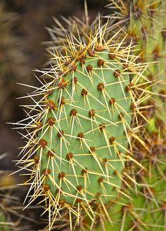 ♕cactus - Opuntia littoralis 'Coastal Prickly Pear' by plantmanbuckner Opuntia Cactus, Prickly Pear Cactus, Cactus Y Suculentas, Cactus House Plants, Indoor Cactus, Cacti And Succulents, Planting Succulents, Planting Flowers, Arizona Cactus