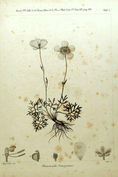 wallacegardens:  Sertulum Orientaleby Giuseppe Clementi (1855) Ranunculus