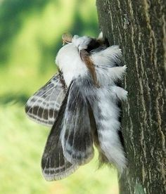 Large Tolype of Cool Insects, Bugs And Insects, Beautiful Bugs, Beautiful Butterflies, Cute Creatures, Beautiful Creatures, Silkworm Moth, Cute Moth, Pink Moth