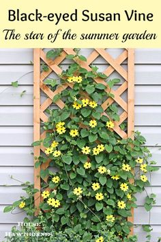 The vine that keeps going strong all summer long - the Black-eyed Susan Vine. Looking for a different color to mix in your arbor vines? Try these or mix them in with other colored vines like Clemantis