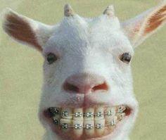 I swear it's a goat, but it's still funny!