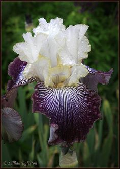 Rainy Day Iris