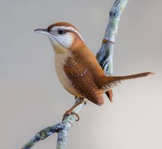 The 'Carolina Wren' is a common species of wren, resident in the eastern half of the USA, the extreme south of Ontario, Canada, and the extreme northeast of Mexico. Cute Birds, Pretty Birds, Small Birds, Little Birds, Colorful Birds, Beautiful Birds, Kinds Of Birds, Tier Fotos, Backyard Birds