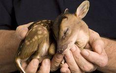 Animais que cabem na palma da mão: esse veadinho filhote é uma fofura só.