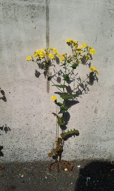 The flowers bloom in the dry wall.