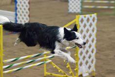 Dog Agility Border Collie dog in agility Best Dog Breeds, Best Dogs, Collie Breeds, Cute Borders, Loyal Dogs, Collie Mix, Dog Agility, Cat Paws, Dog Training Tips