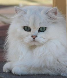 44 Best Cats British Longhair Images Long Hair Long Hair Cuts