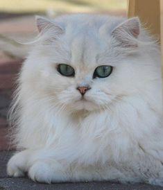 British Longhair Cat, Chinchilla