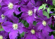 Clematis Care – Tips for Growing Clematis Vines