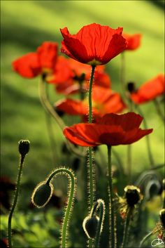 Poppies - scatter and cluster among grasses in front of roses.