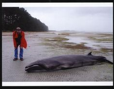 A stranded pygmy right whale, a species thought to be extinct for 2 million years.