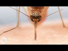 When You See How Mosquitos Suck Blood Close Up, You Will Be Grossed Out For Life - Smile Sumo - Weird News, Viral Videos, Funny Pictures, Satire Stories Wright Flyer, Deadly Animals, Dangerous Animals, Charles Lindbergh, Sud Aviation, Keeping Mosquitos Away, Creepy Animals, Animals, Simile