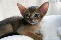 Abyssinian Cat Rescue Oregon