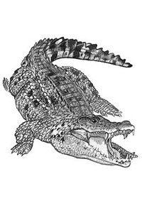 7c9366c9d 35 Best Alligator Tattoo Designs images in 2015   Alligator tattoo ...