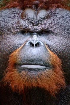 Orangutan - Borneo, Malaysia by Andrew Parker Primates, Mammals, Animals And Pets, Funny Animals, Cute Animals, Beautiful Creatures, Animals Beautiful, Male Orangutan, Chimpanzee