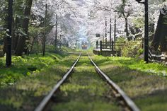 The train passes through the inside of the tunnel of beautiful cherry blossoms in spring. Tsugaru-railway in Aomori, Japan.