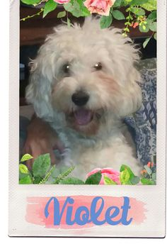 Violet from Highland Goldendoodles is expecting an f1b litter in Oct. Find us on facebook under highlandgoldendoodles