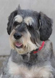 Max is an adoptable Schnauzer Dog in Pittsburgh, PA. Max is a wonderful dog. He knows basic commands, such as, sit, off, down and come. Also gotta go pee he will bark for yes or jump around. He enjoys...
