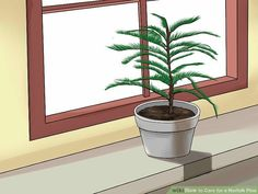 How to Care for a Norfolk Pine