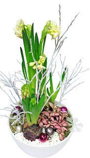 http://holmsundsblommor.blogspot.se/2009/12/doftande-julgrupp-2.html Doftande julgrupp med tazett, hyacint, åderblad