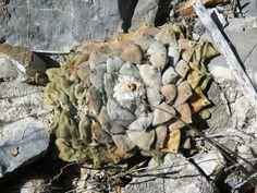 Ariocarpus retusus F. Minimus