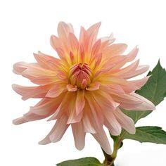 ダリア「ムーンワルツ」 - Flower File|大田市場の花き仲卸 株式会社フローラルジャパン