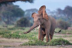 Elephant  Photo credit: Billy Dodson #ivoryforelephants #elephants #stoppoaching