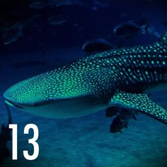 """""""This is a Whale Shark. These things are massive. Can grow to around 40' long and weigh 47000lbs. They are filter fish and feed on plankton. They are very docile and have been know to play with divers."""" - (Photo © Withoutink)"""