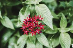 'Egyptian Starcluster' by Christi Kraft | Bright red petals with squiggly white centers make up the Pentas lanceolata flower, also known as Egyptian Starcluster