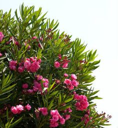 Interesting! The potential uses of the extract of the highly poisonous oleander plant as a remedy for many things, including HIV and deadly cancer.