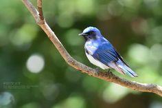 ゴールデンウィーク前、県庁の森にオオルリ( Cyanoptila cyanomelana  = 暗青色の羽・青と黒の)がやってきました。 オスメスともにいましたが、写真は青色が鮮やかな...