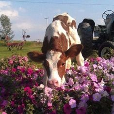 cow in the petunias Cute Creatures, Beautiful Creatures, Animals Beautiful, Cute Baby Animals, Farm Animals, Animals And Pets, Cute Baby Cow, Wild Animals, Fluffy Cows
