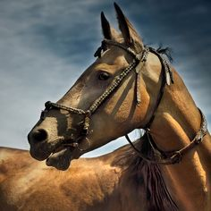 akhal-teke stallion by Dan65, via Flickr