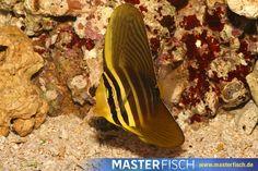 Pazifischer Segelflossen Doktorfisch - MasterFisch Pets, Animals, Fish Fin, Types Of Animals, Animales, Animaux, Animal, Animais, Animals And Pets