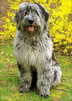 bergamasco shepherd dog photo   classified search breedcode bergamasco-shepherd- cached Size dog ...