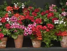 All About The Different Types of Geraniums >> http://www.diynetwork.com/how-to/outdoors/gardening/the-different-types-of-geraniums?soc=pinterest
