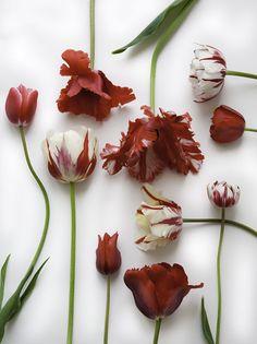 Parrot Tulips Fresh Flowers, Beautiful Flowers, Tulips Images, Book Flowers, Parrot Tulips, Flower Names, White Tulips, Types Of Flowers, Flower Power