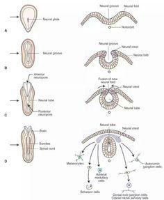 Neural tube development