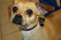 Linni: Chi-Peke beauty is running out of time at high-kill upstate shelter.  Someone please rescue this little dog.