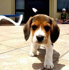 beagles are my favorites