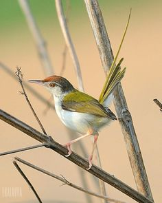 """COMMON-TAILOR-BIRD-The common tailorbird is a songbird found across tropical Asia. Popular for its nest made of leaves """"sewn"""" together and immortalized by Rudyard Kipling in his Jungle Book, it is a common resident in urban gardens.OLD WORLD WARBLER."""