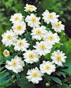 Cor te du japon kerria japonica 39 pleniflora 39 sur mon - Anemone du japon blanche ...