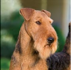 OMG this Airedale is absolutely gorgeous✨