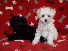 photographs of miniture poodles | Miniature Poodle